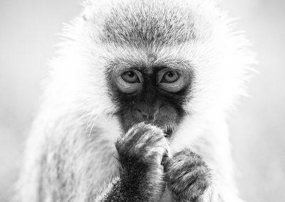 Vervet Monkey, Arusha, Tanzania