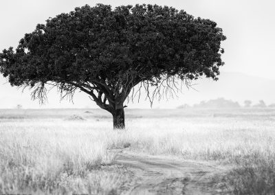 Sausage Tree, Serengeti