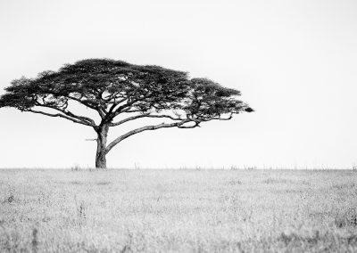 Acacia, Serengei