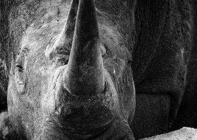Rhinoceros, Sabi Sands, South-Africa