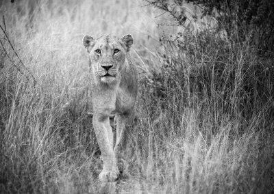 Lion, Sabi Sand, South-Africa