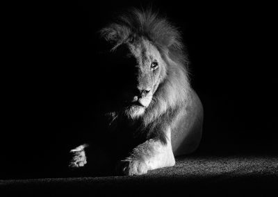 Lion, Londolozi in Sabi Sand, SA