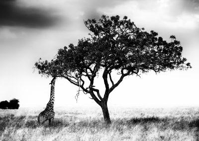 Girafe reaching a Sausage Tree, Serengeti