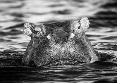 Hippopotamus, Zambezi river, Zimbabwe