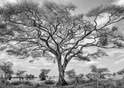 Acacia, Serengeti