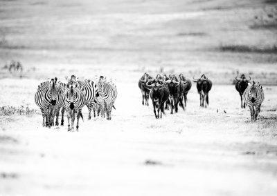 Marching to the water holes, Ngorongoro Crater, Tanzania