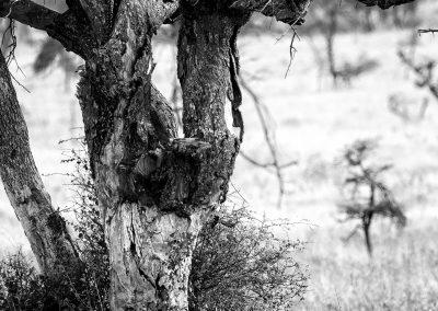 Leopard, Serengeti, Tanzania