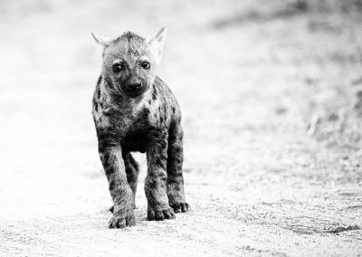 Hyena Cub, Kruger National Park, South-Africa