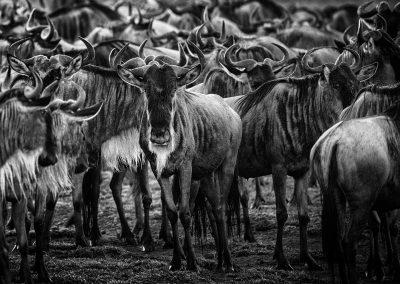 Wildebeest, Ndutu region, Serengeti