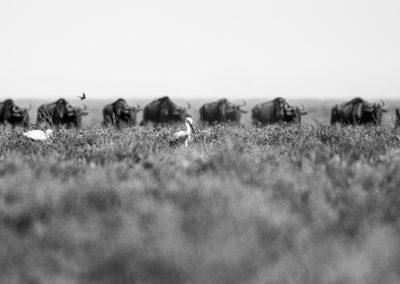 Storks and passing wildebeests, Serengeti plains