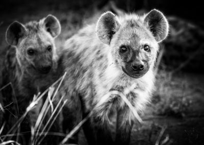 Hyenas cubs, Londolozi