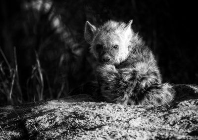 Hyena Cub on his den, Londolozi