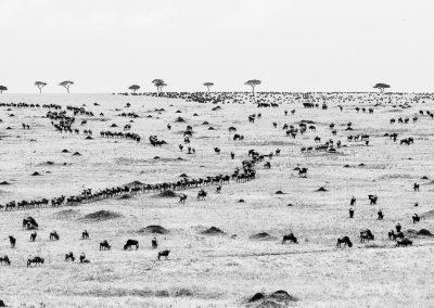 Wildebeest, near the Mara and Sand rivers, Northern Serengeti