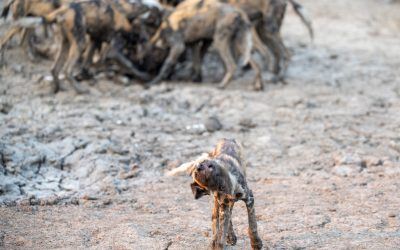 Painted Dogs, Gorongosa