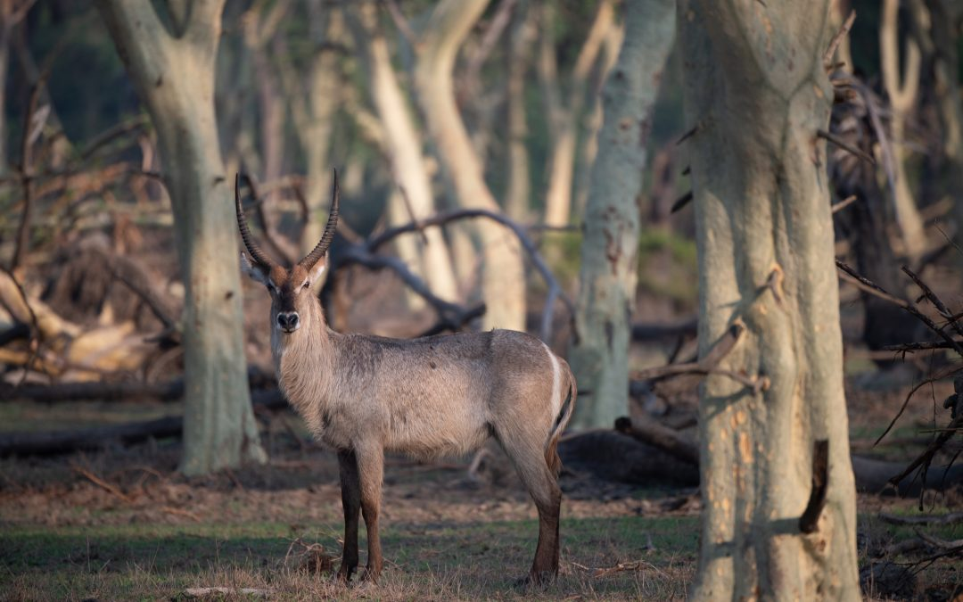 Waterbucks, Gorongosa