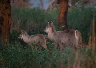 Young waterbuck with mother