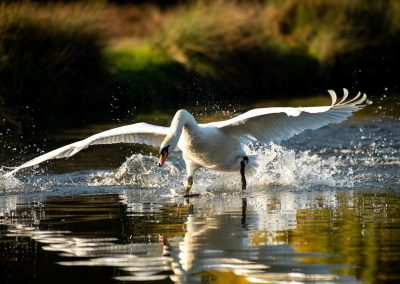 Swan, Bushy Park, London